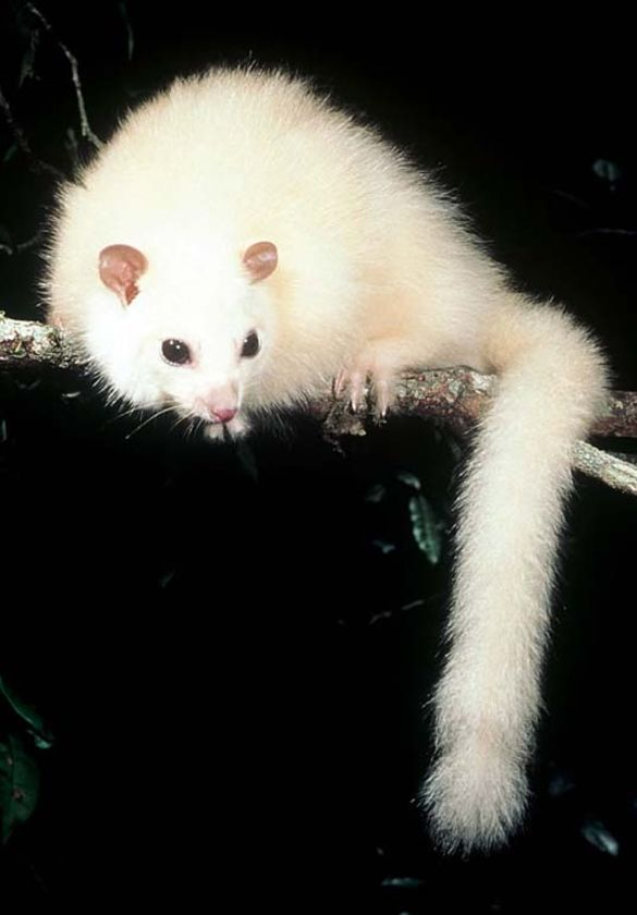 lemoroid possum