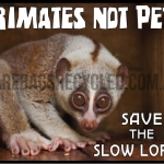 Primates Not Pets Loris